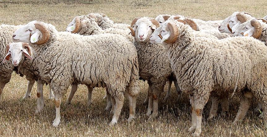 Création d'une première Unité d'élevage privée de race Ovine, la Taadmit.